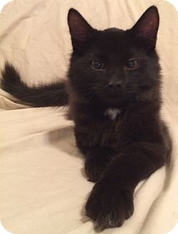 Maine Coon Kitten for adoption in Nashville, Tennessee - Winston
