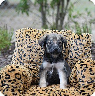 Shepherd (Unknown Type) Mix Puppy for adoption in Groton, Massachusetts - Miko