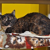 Domestic Shorthair Cat for adoption in Sunrise Beach, Missouri - Peachy