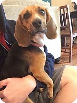 Beagle Dog for adoption in Severance, Colorado - SOPHIE