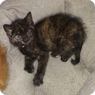 Domestic Shorthair Kitten for adoption in Winston-Salem, North Carolina - Aimee