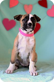 Boxer Mix Puppy for adoption in Waldorf, Maryland - Fifi