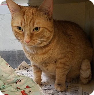 Domestic Shorthair Cat for adoption in Arlington, Virginia - Geoge - Large Cuddle bug