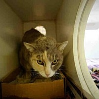 Domestic Mediumhair Cat for adoption in Long Beach, California - *AGATHA