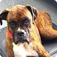 Adopt A Pet :: Bella - Turnersville, NJ