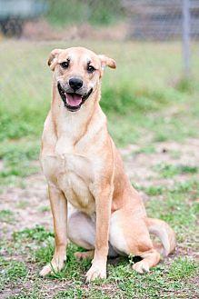 Labrador Retriever/Australian Shepherd Mix Dog for adoption in Virginia Beach, Virginia - Sansa