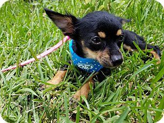 Chihuahua Mix Puppy for adoption in Brattleboro, Vermont - Estonia