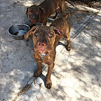 Adopt A Pet :: Aster - Tempe, AZ