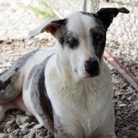 Adopt A Pet :: Charlie - Waco, TX