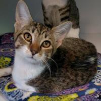 Adopt A Pet :: Hurricane - Rio Rancho, NM