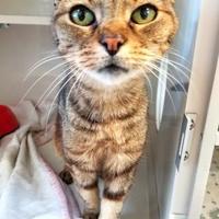 Adopt A Pet :: Suzette - Manteo, NC