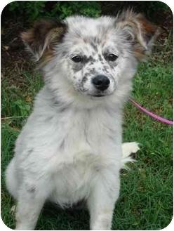 Australian Shepherd/Blue Heeler Mix Puppy for adoption in Brenham, Texas - Cookie