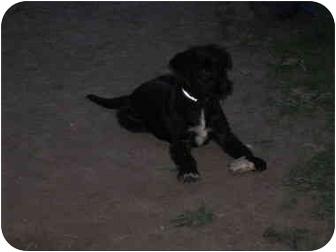 Schnauzer (Standard)/Australian Shepherd Mix Puppy for adoption in Tuscola, Illinois - Moe