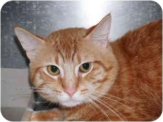 Domestic Shorthair Cat for adoption in El Cajon, California - Jupiter