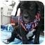 Photo 2 - Basset Hound/Labrador Retriever Mix Puppy for adoption in Sacramento, California - Charlie boy