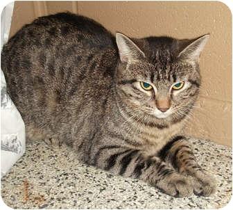 Domestic Shorthair Kitten for adoption in Hayden, Idaho - Paige
