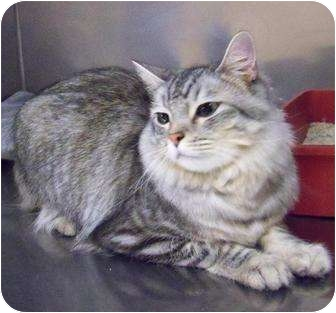 Domestic Longhair Cat for adoption in Fort Irwin, California - Tori, and I'm a prince!