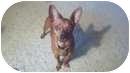 Miniature Pinscher Mix Dog for adoption in Salem, Oregon - Emmy Lou