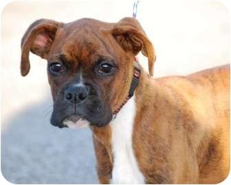 Boxer Dog for adoption in Providence, Rhode Island - Tigger