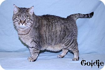 Domestic Shorthair Cat for adoption in Kerrville, Texas - Goldie