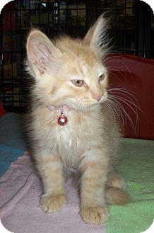 Domestic Longhair Kitten for adoption in St. Louis, Missouri - Derry