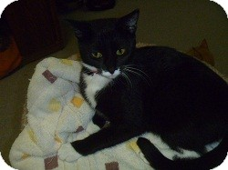Domestic Shorthair Cat for adoption in Hamburg, New York - Joan