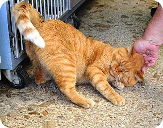 Domestic Shorthair Cat for adoption in Indianola, Iowa - Mac