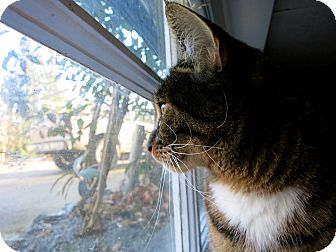 Domestic Shorthair Cat for adoption in Mission, British Columbia - Kaya