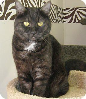 Domestic Shorthair Cat for adoption in Rock Springs, Wyoming - Pearl