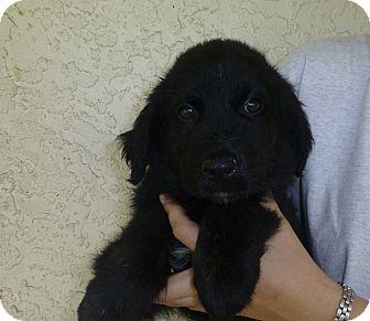 Golden Retriever/Australian Shepherd Mix Puppy for adoption in Oviedo, Florida - Milo