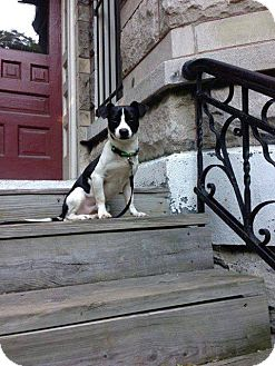 Jack Russell Terrier/Beagle Mix Dog for adoption in Chicago, Illinois - SONNY