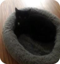 Domestic Mediumhair Kitten for adoption in Columbia, South Carolina - Care Bear