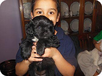 Shih Tzu/Cocker Spaniel Mix Puppy for adoption in Cincinnati, Ohio - Kylie