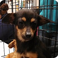 Adopt A Pet :: Misty - Seattle, WA