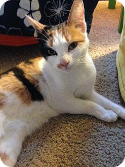 Domestic Shorthair Cat for adoption in Hamilton, New Jersey - Daisy