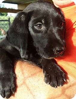 Labrador Retriever/Beagle Mix Puppy for adoption in Orange Lake, Florida - Otis