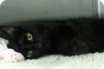 Domestic Shorthair Cat for adoption in Elyria, Ohio - Ashley