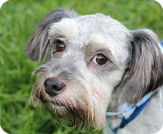 Schnauzer (Miniature)/Poodle (Miniature) Mix Dog for adoption in Yadkinville, North Carolina - Archie