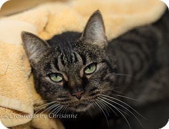 Domestic Mediumhair Cat for adoption in Sierra Vista, Arizona - Melody