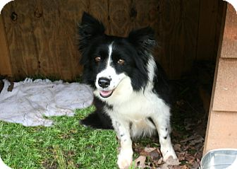 Border Collie Mix Dog for adoption in Cleveland, Georgia - Emma