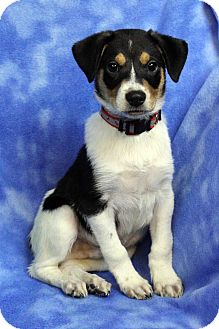 Shepherd (Unknown Type)/Australian Cattle Dog Mix Puppy for adoption in Westminster, Colorado - Spottie