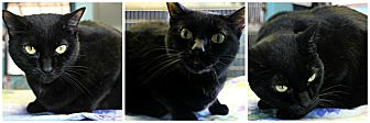 Domestic Shorthair Cat for adoption in Forked River, New Jersey - Cuddles