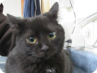Domestic Shorthair Kitten for adoption in Grinnell, Iowa - Cayenne
