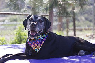 Labrador Retriever/Great Dane Mix Dog for adoption in Acton, California - Maddy