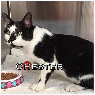 American Shorthair Cat for adoption in Comanche, Texas - Chester