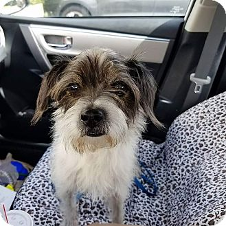 Terrier (Unknown Type, Small) Mix Dog for adoption in Ft. Lauderdale, Florida - Einstein