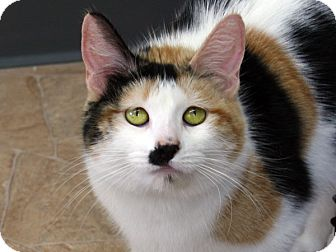 Calico Cat for adoption in Republic, Washington - Chloe