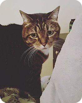 Domestic Shorthair Cat for adoption in Overland Park, Kansas - Bailey