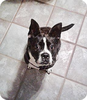 Boston Terrier/Bulldog Mix Dog for adoption in Glastonbury, Connecticut - Bella