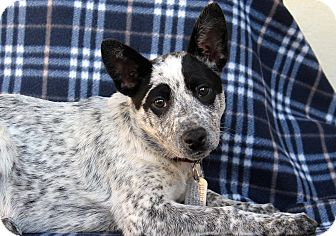 Cattle Dog/Blue Heeler Mix Puppy for adoption in Los Angeles, California - Victory